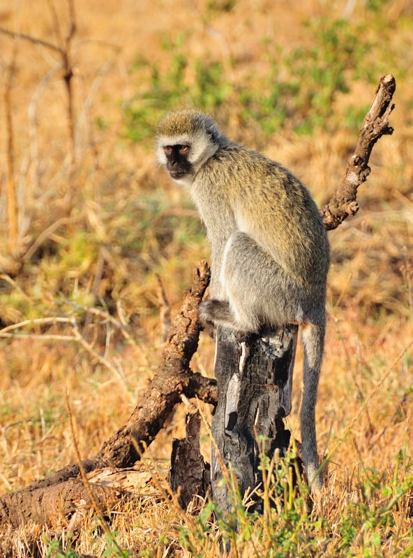 vervet on stump