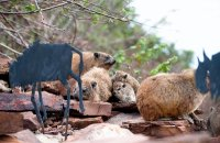 Rock Hyrax at Visitor Center
