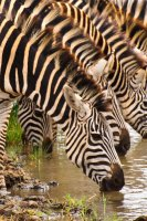 Zebra Drinking at Tarangire