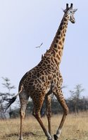 Bird Gets a Ride on Giraffe