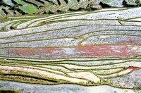 Rice fields near Sa pa 2