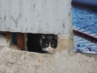 Cat in Tabriz