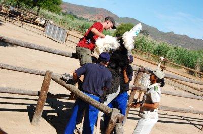 Rich mounting an ostrich