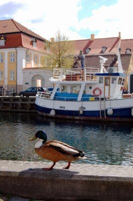 Ducks of Copenhagen
