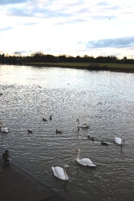 Swans at sundown