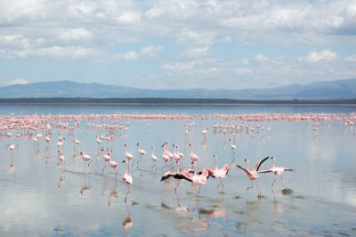 Flamingoes on lake