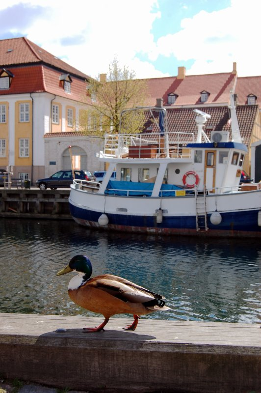 Ducks of Copenhagen