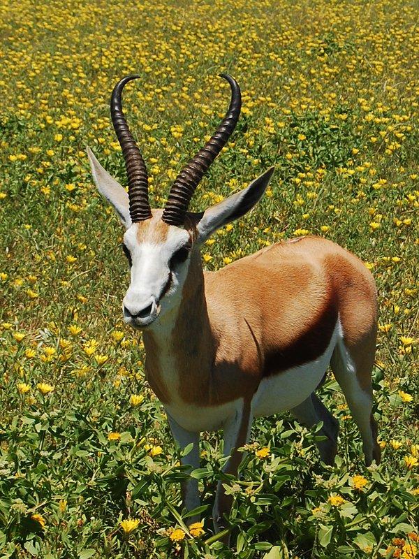 Antelopes in Etosha