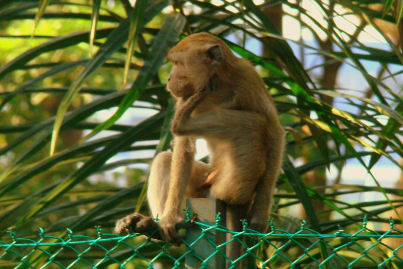Monkey of KL