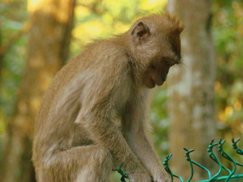 Monkeys of KL