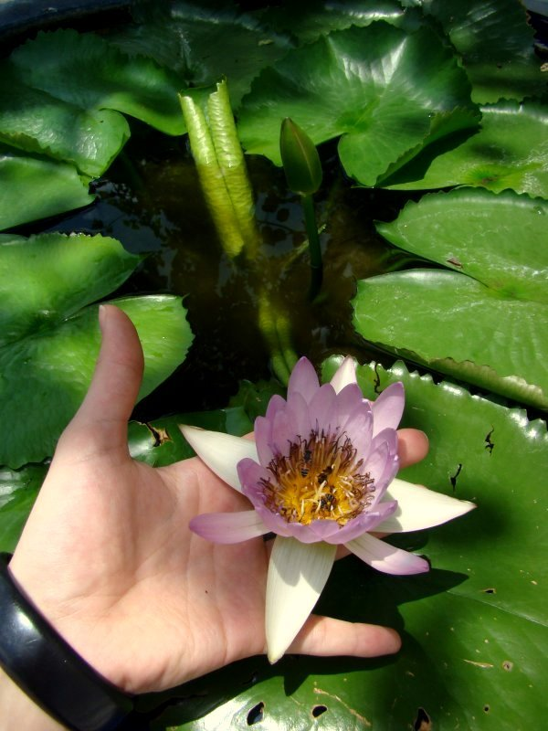 lotus flower in grand palace