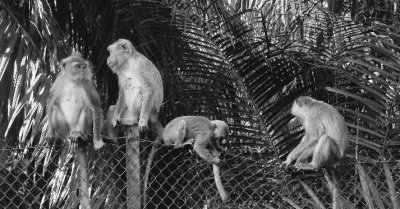 Monkeys of KL
