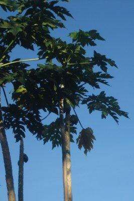 10_Papaya.jpg