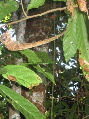 4_Cacao_Tree.jpg