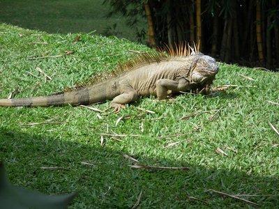 Giant_iguana.jpg