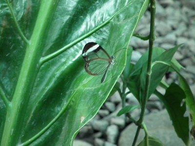 Glasswing_butterfly.jpg
