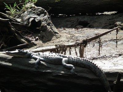 River_crocodile.jpg