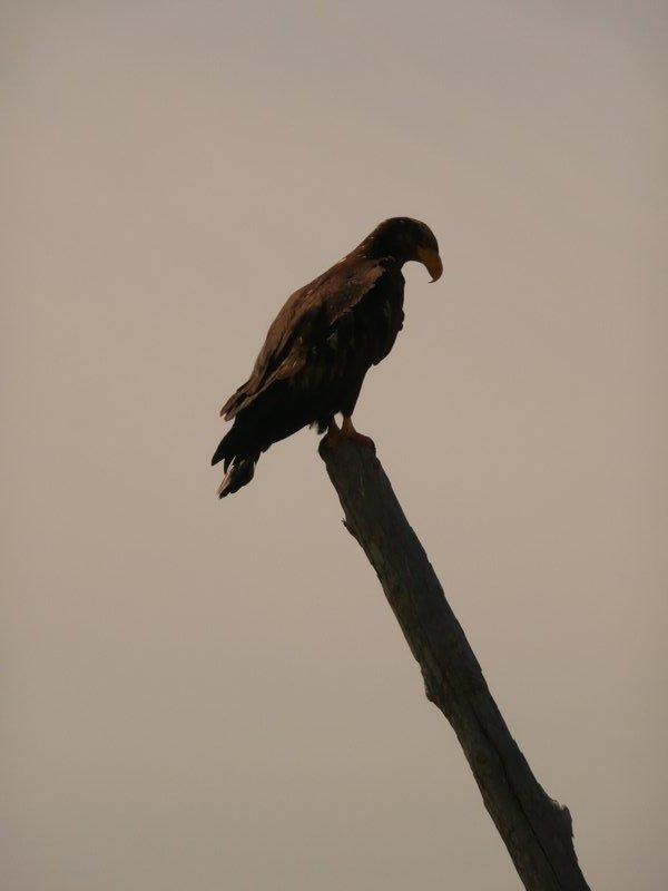 Eagle at Iona Beach