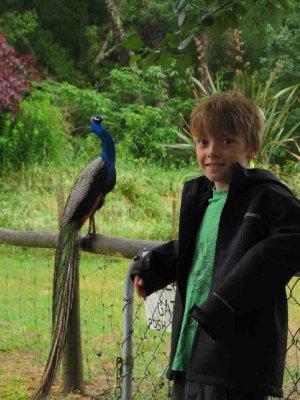 Motueka_Ja..Peacock.jpg