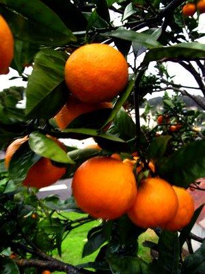 Mandarin tree at Russell bach