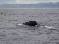 Kaikoura_Whale_1.jpg