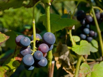 Allotments_grapes_08 31 09_3004_edited-2