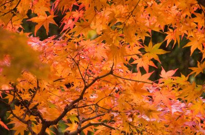 Kamakura_tree_DSC9289.jpg