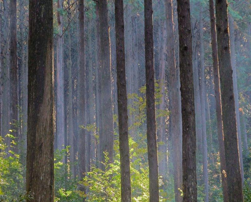Mie_pilgrimwalk_trees_11-22