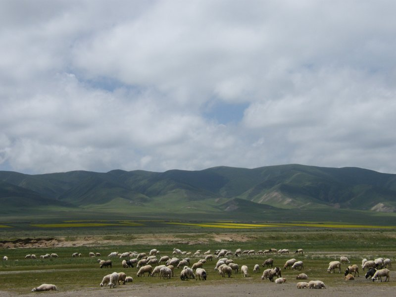 Sheep around the grassland of Qinghai lake