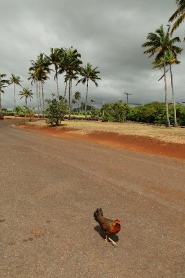 Chicken in Kauai
