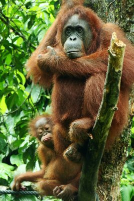 Orang Utan mommy and her curious baby