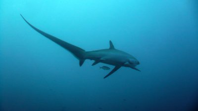Thresher Shark, diving in Malapascua