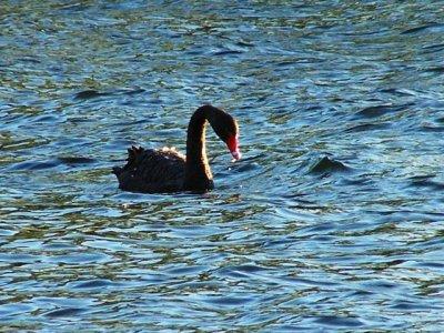 2009-11-02_black_swan.jpg