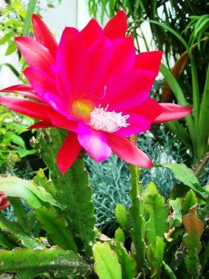 Sir Edmond cactus