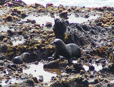 Seals at Otago