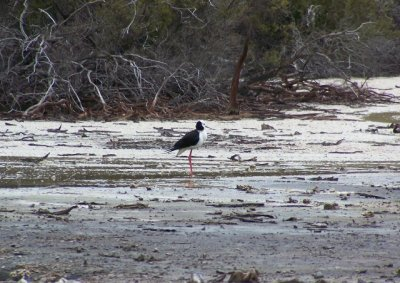 20091104 -  Wai-O-Tapu Pied Stilt bird on Frying Pan Flats