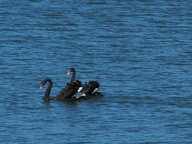 20091104-Black Swans