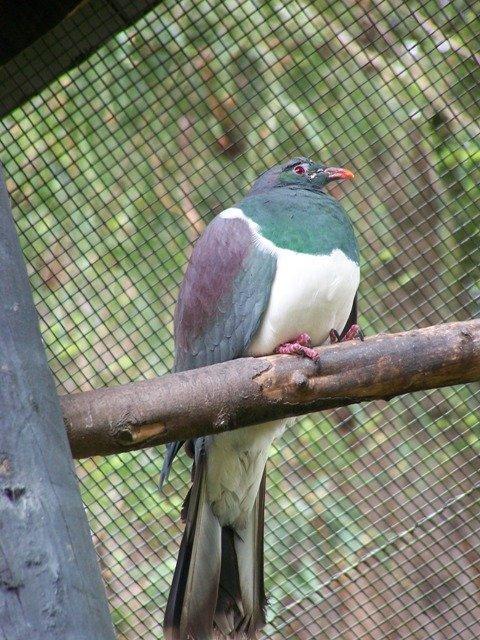 20091105-Rainbow Springs NZ pigeon