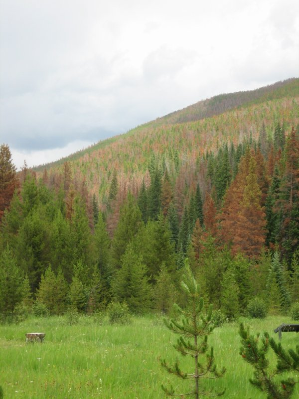 Attack of the Killer Pine Beetles