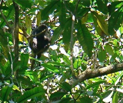Kili monkey