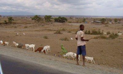 Roadside goat herding