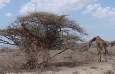 Giraffes in bush