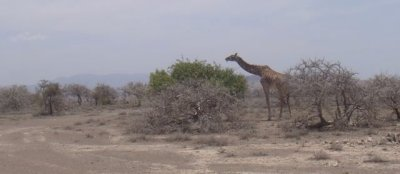 Giraffe and one green tree