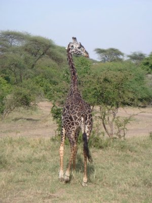 Old giraffe (darker spots)