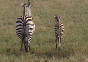 Baby zebra butt