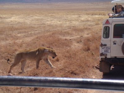 Lions approaching cars