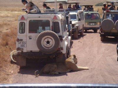 Lions under jeeps