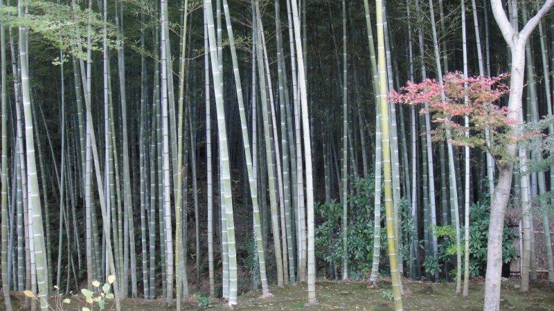 large_Bamboo_For..__Kyoto.jpg