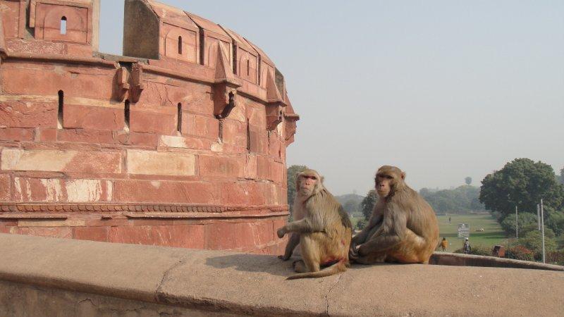 large_Monkes_on_..__India.jpg