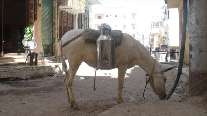 large_Tea_Donkey..__Egypt.jpg